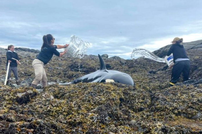 Orca rescued by Good Samaritans on Alaska's Prince of Wales Island