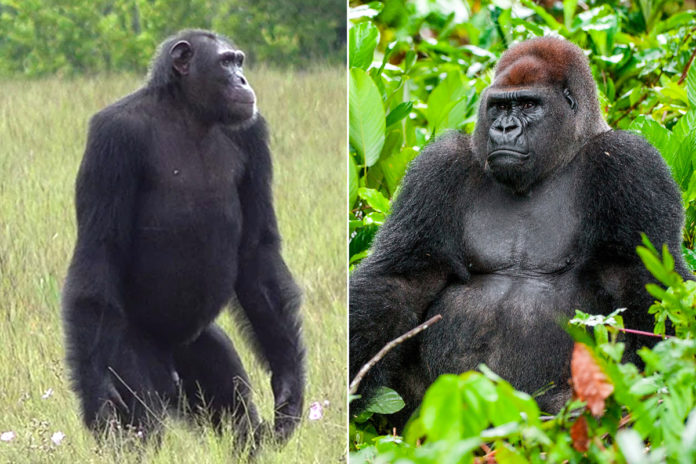 Chimps are killing gorillas unprovoked for the first time: scientists