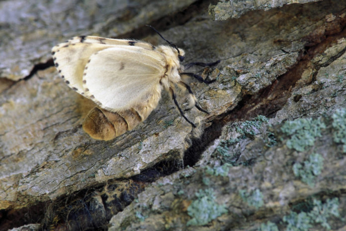 Gypsy moth getting new name to remove 'ethnic slur': scientists