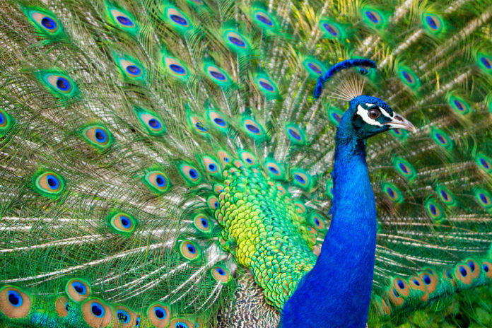 Peacock gunned down after Craigslist ad took out hit on the bird
