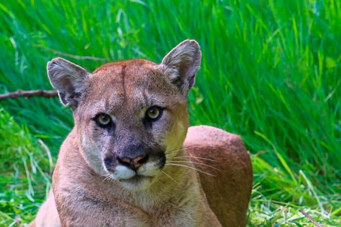 Mom fights off mountain lion attacking her 5-year-old son
