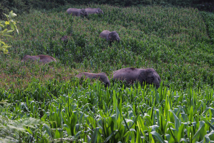 Elephant herd may be heading home after yearlong China trek