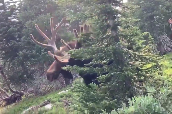 Colorado hiker charged at by bull moose in scary POV video