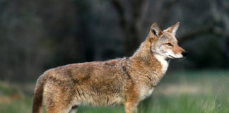 Coyote bites 5-year-old in popular Canadian park