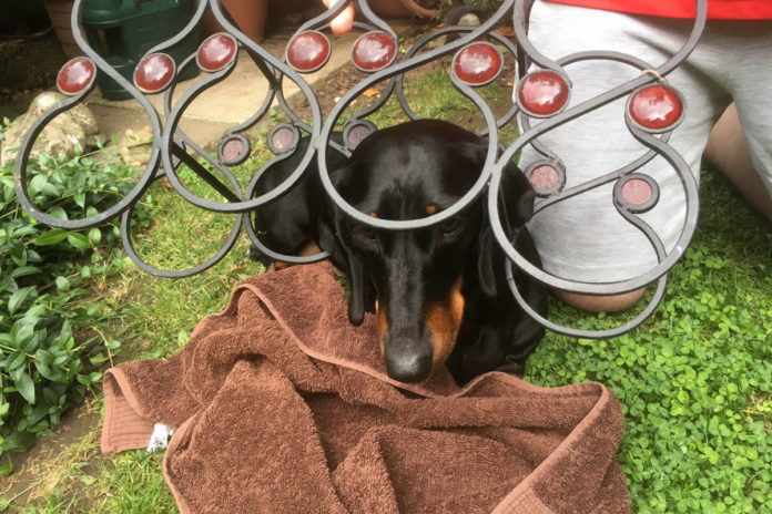 UK firefighters free curious sausage dog who got stuck in wine rack