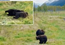 Alaskan bears practice 'synchronized napping': video