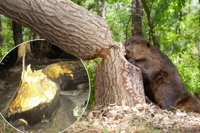 Beaver to blame for wildfires in Oregon