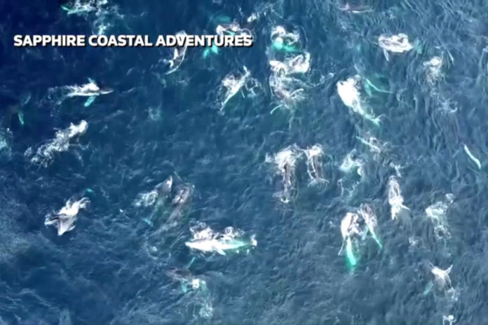 Stunning video captures rare 'megapod' of humpback whales