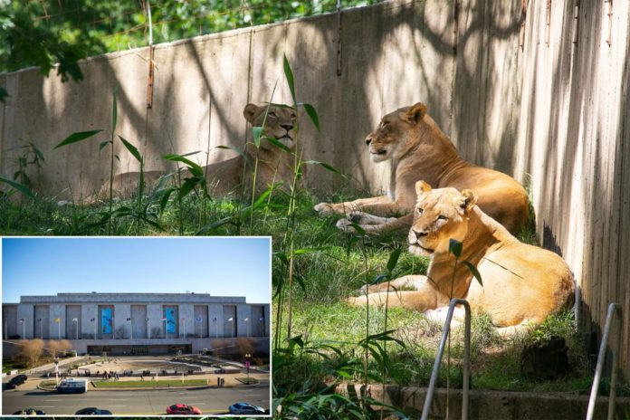 Lions, tigers likely infected with COVID-19 at Smithsonian National Zoo