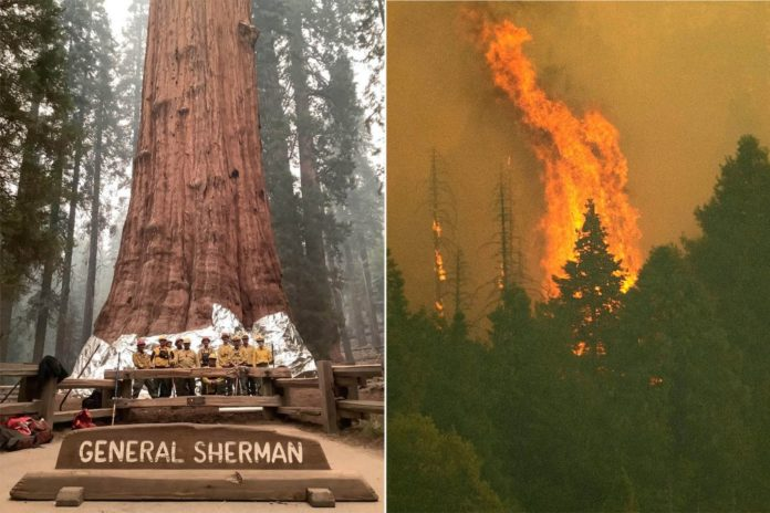 Flames reach Giant Forest, threatening world's largest tree