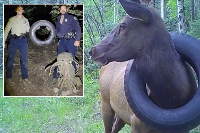 Colorado Elk has tire removed from neck after two years